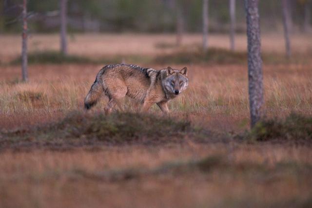 Bootscharter Finnland: In Finnland gibt es noch wild lebende Wölfe
