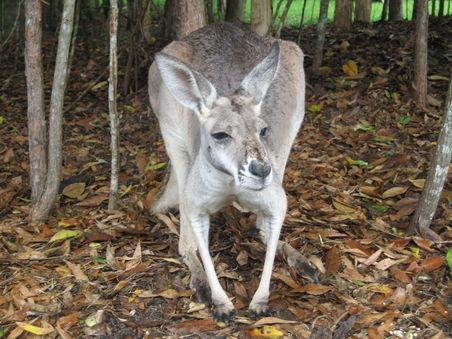 Yachtcharter Sydney: K�nguru am Ufern des Pittwater